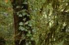 Kintriši rezervātā koku stumbrus ieskauj Kolhīdas efejas 7