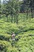 Sibillas ceļojums Šrilankā bija īsts sapnis - viena nedēļa tika pavadīta kalnos, tējas plantācijās un rezervātos, cerībā sastapt ziloni brīvā dabā, be 10
