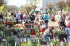 Stādu tirgus Madonas pilsētas centrālajā laukumā jau ir kļuvis par jauku tradīciju un īstu pamudinājumu uzsākt praktiskus pavasara darbus piemājas dār 18