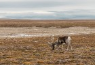 Latvijas Universitātes zinātnieki atgriezušies no ekspedīcijas Svalbāras arhipelāgā, kur tie pētīja ledājus un vides piesārņojumu vietā, kuru no Zieme 35
