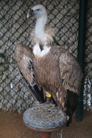 Travelnews.lv apmeklē plēsējputnu centru «Kalba Bird of Prey Centre» Šārdžas emirātā. Atbalsta: VisitSharjah.com un Novatours.lv 18