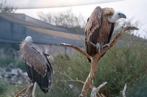 Travelnews.lv apmeklē plēsējputnu centru «Kalba Bird of Prey Centre» Šārdžas emirātā. Atbalsta: VisitSharjah.com un Novatours.lv 21