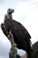 Travelnews.lv apmeklē plēsējputnu centru «Kalba Bird of Prey Centre» Šārdžas emirātā. Atbalsta: VisitSharjah.com un Novatours.lv 23