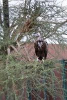 Travelnews.lv apmeklē plēsējputnu centru «Kalba Bird of Prey Centre» Šārdžas emirātā. Atbalsta: VisitSharjah.com un Novatours.lv 24