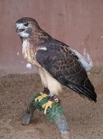 Travelnews.lv apmeklē plēsējputnu centru «Kalba Bird of Prey Centre» Šārdžas emirātā. Atbalsta: VisitSharjah.com un Novatours.lv 26