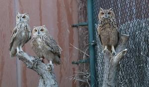 Travelnews.lv apmeklē plēsējputnu centru «Kalba Bird of Prey Centre» Šārdžas emirātā. Atbalsta: VisitSharjah.com un Novatours.lv 31