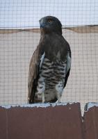 Travelnews.lv apmeklē plēsējputnu centru «Kalba Bird of Prey Centre» Šārdžas emirātā. Atbalsta: VisitSharjah.com un Novatours.lv 34