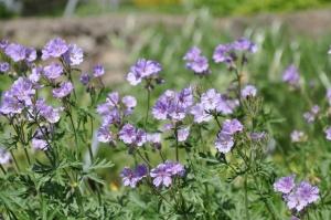 Salaspilī krašņi zied Nacionālais botāniskais dārzs 4