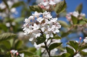 Salaspilī krašņi zied Nacionālais botāniskais dārzs 5