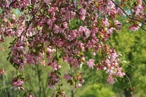 Salaspilī krašņi zied Nacionālais botāniskais dārzs 6