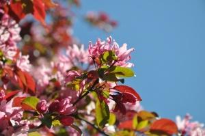Salaspilī krašņi zied Nacionālais botāniskais dārzs 7