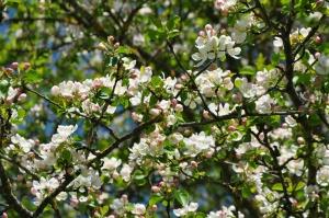 Salaspilī krašņi zied Nacionālais botāniskais dārzs 9