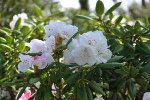 Salaspilī krašņi zied Nacionālais botāniskais dārzs 10