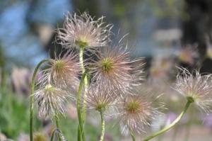 Salaspilī krašņi zied Nacionālais botāniskais dārzs 12