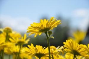 Salaspilī krašņi zied Nacionālais botāniskais dārzs 13