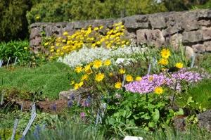 Salaspilī krašņi zied Nacionālais botāniskais dārzs 14