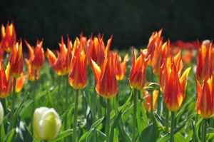 Salaspilī krašņi zied Nacionālais botāniskais dārzs 16