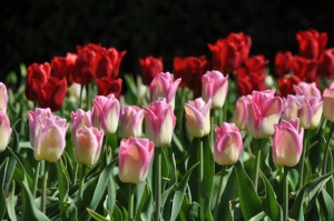 Salaspilī krašņi zied Nacionālais botāniskais dārzs 17