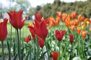 Salaspilī krašņi zied Nacionālais botāniskais dārzs 19