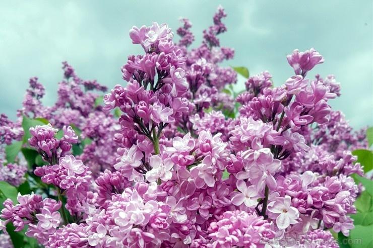Dobeles Ceriņu dārzā var baudīt pasakaino ziedu dažādību