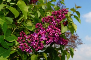 Dobeles Ceriņu dārzā var baudīt pasakaino ziedu dažādību 2