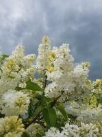 Dobeles Ceriņu dārzā var baudīt pasakaino ziedu dažādību 3