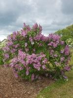 Dobeles Ceriņu dārzā var baudīt pasakaino ziedu dažādību 4