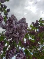 Dobeles Ceriņu dārzā var baudīt pasakaino ziedu dažādību 8