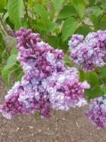Dobeles Ceriņu dārzā var baudīt pasakaino ziedu dažādību 9