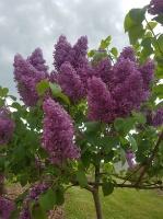 Dobeles Ceriņu dārzā var baudīt pasakaino ziedu dažādību 10