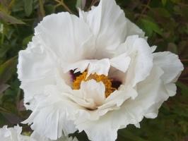 Dobeles Ceriņu dārzā var baudīt pasakaino ziedu dažādību 11