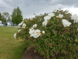 Dobeles Ceriņu dārzā var baudīt pasakaino ziedu dažādību 12