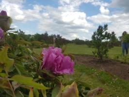 Dobeles Ceriņu dārzā var baudīt pasakaino ziedu dažādību 13