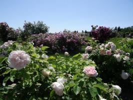 Rundāles pili ieskauj krāšņi rožu ziedi 2