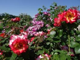 Rundāles pili ieskauj krāšņi rožu ziedi 3