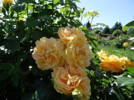 Rundāles pili ieskauj krāšņi rožu ziedi 4