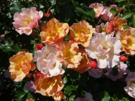 Rundāles pili ieskauj krāšņi rožu ziedi 6