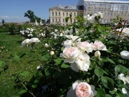 Rundāles pili ieskauj krāšņi rožu ziedi 7