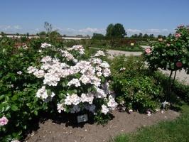 Rundāles pili ieskauj krāšņi rožu ziedi 8