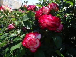Rundāles pili ieskauj krāšņi rožu ziedi 9