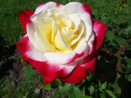 Rundāles pili ieskauj krāšņi rožu ziedi 11