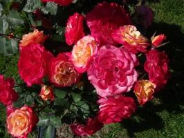 Rundāles pili ieskauj krāšņi rožu ziedi 12