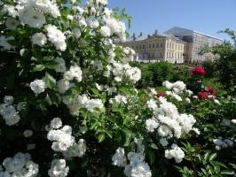 Rundāles pili ieskauj krāšņi rožu ziedi 13