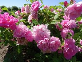 Rundāles pili ieskauj krāšņi rožu ziedi 14