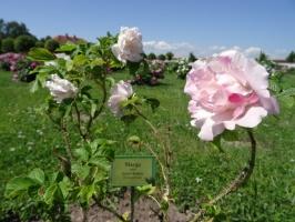Rundāles pili ieskauj krāšņi rožu ziedi 15