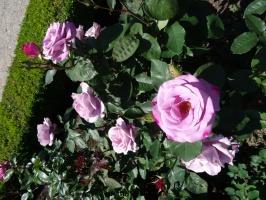 Rundāles pili ieskauj krāšņi rožu ziedi 16