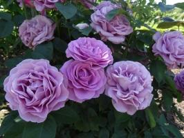 Rundāles pili ieskauj krāšņi rožu ziedi 17