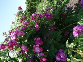 Rundāles pili ieskauj krāšņi rožu ziedi 18