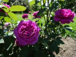 Rundāles pili ieskauj krāšņi rožu ziedi 19