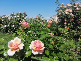 Rundāles pili ieskauj krāšņi rožu ziedi 21